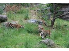 Tigrar ute för första gången 080625 - 1