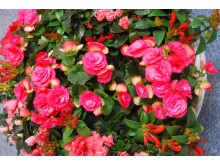 Julesymfoni? Begonia, asalea og fakkelblomst varter opp med hver sine nyanser i rødt
