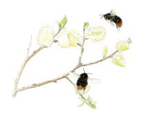 Sälg är en viktig resurs för humlor och andra vildbin om våren.