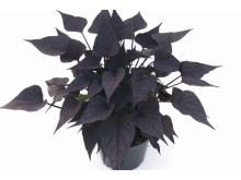 Ipomoea batatas Sweet Heart Purple