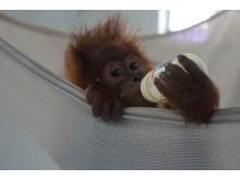 Bina Wana als Säugling in der Auffangstation Sumatra