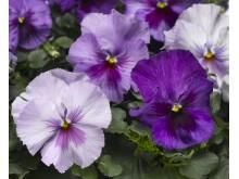 Viola wittrockiana Delta Lavender Shades