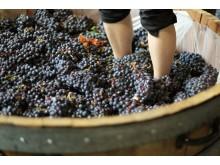 grape.stomping.closeup