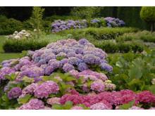 Forever&Ever - Trädgårdshortensia som klarar kalla klimat
