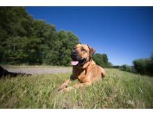 Blandrashund i sommargräs