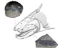 Rekonstruktion av Devonfisken Psarolepis