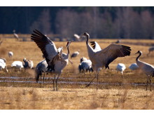 Dancing cranes - Photo Jonas Ingman