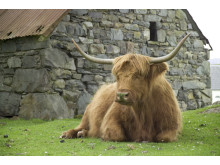Highland cow at rest ©Visit Britain