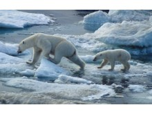 Coca-Cola ja WWF yhdistävät voimansa jääkarhujen arktisen kodin suojelemiseksi