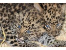 Amurleopardungar i Parken Zoo Eskilstuna