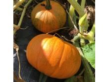 Hösten är härlig tid för olika sorters matpumpor.