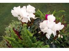 Frodig høstkrukke med grønne planter og hagecyclamen - den tøffe varianten av alpefiol