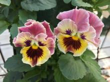 Viola-wittrockiana-Frizzle-Sizzle-Mini-Fire_35105_5
