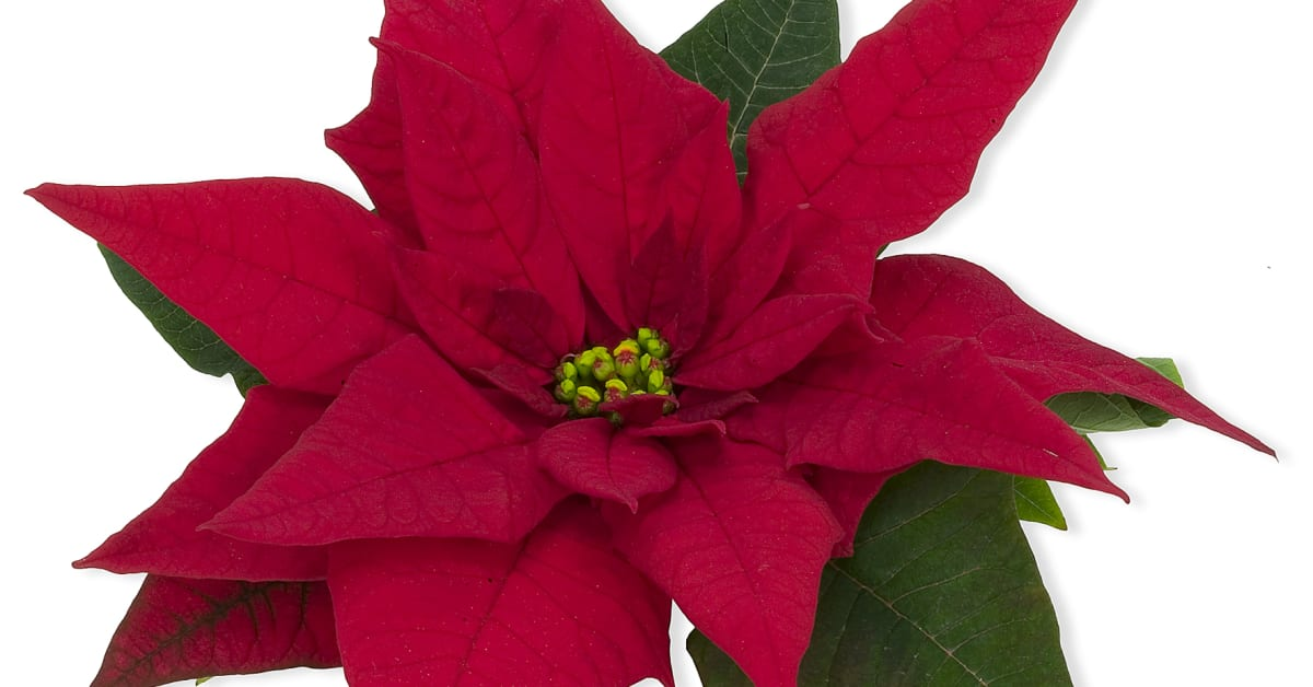 Open Till 6 00 Today S Flavors: Julstjärna 'Jester'