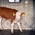Nya skandalbilder: djurplågeriet på Europas djurtransporter fortsätter