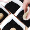Odla potatis i hink - så här gör du