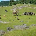 Elefantkalven Chindi jagar pärlhöns på Borås Djurpark