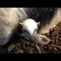 Ovanligt djur får ovanlig unge – igen!