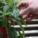 Plantera chili i kruka