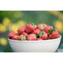 Stor skörd av jordgubbar till midsommar
