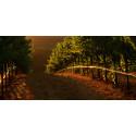 Gallo vingård