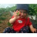 Nu skördas årets första jordgubbar - unik självplockningspremiär på söndag