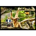 Dagens Boråsbild Gibbonpa på Borås Djurpark