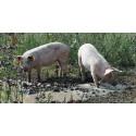 Parasiten Toxoplasma gondii vanlig hos svenska vildsvin
