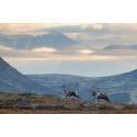Nå er tiden inne for å søke om jakt! Prøv villreinjakt eller elgjakt i år.