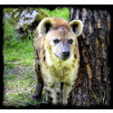Borås Djurpark Fläckig Hyena