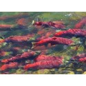 Bristol Bay sockeye run almost on target
