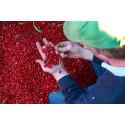 Nya svenskodlade bönsorter - snart på ditt bord