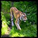 Borås Djurpark Tiger på promenad