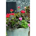 Pelargonium Brocade ´Cherry Night´