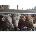 Ensimmäinen erä Atrian antibioottivapaata naudanlihaa myyntiin
