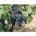 Terra Alta isännöi kansainvälistä Grenache-viinikilpailua