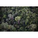 Tropernes højeste træ fundet i Malaysia