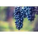 Vinskola del 6 – Druvkunskap rödvinsdruvor