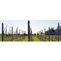 Vinet växer bättre med ny teknik i Lund