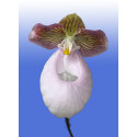 Orkidéfrossa i Botaniska