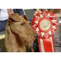 Irländska terriern från Kalmar är Årets Utställningshund 2017