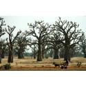 Jordens torrområden är inte så trädfattiga som vi har trott