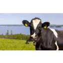 Mer betalt för ekologisk mjölkråvara