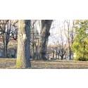 Folkparken föryngras med 50 nya träd