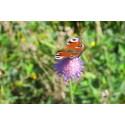 Pressinbjudan: Lillestadskolan får fjärilskullarna att blomma
