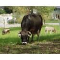 «Wie eine ‹Mädchengang›». Die kleinen Kuh- und Schafherden im Goetheanum-Park sind beliebt