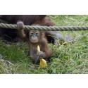Orangutang, Borås Djurpark