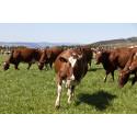 Behov for flere økologiske melkeprodusenter i fjellregionen