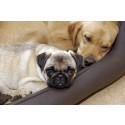 Utställningsdomare ska premiera sunda hundar