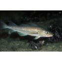 KRAV-märkt får fortsatt grönt ljus i WWFs fiskguide